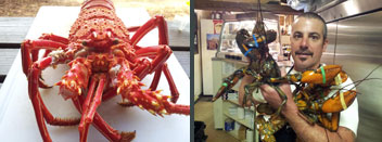 Live Main Lobsters available in Lake Tahoe at Overland Meat & Seafood Co.