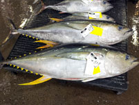 Fresh Caught Mahi Mahi shipped to Overland